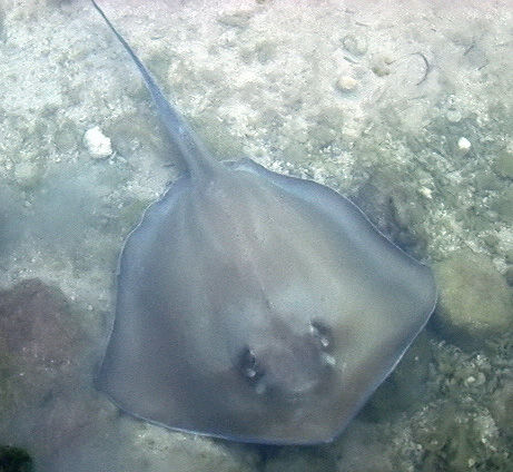 A stingray off the coast of Florida. [CREDIT: ac4lt]