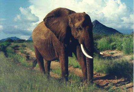 Wildlife in the Savanna. [African elephant. CREDIT: cdc.gov]
