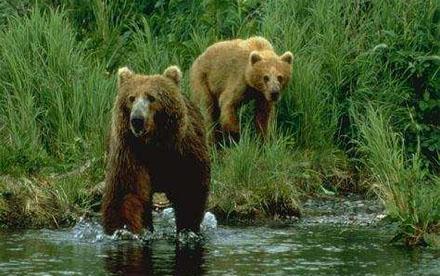 Kodiak bears. [CREDIT:Kodiak.org]