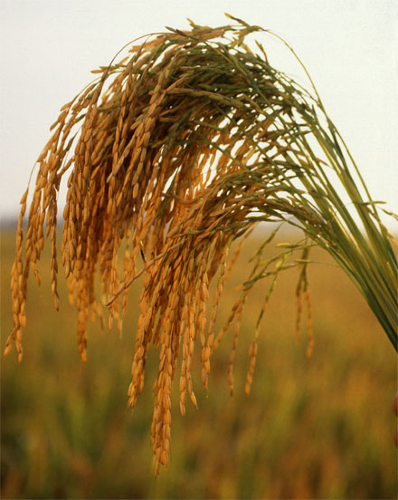In the face of global warming, how will our crops fare? [US long grain rice. CREDIT: KEITH WELLER FOR THE U.S.D.A.]