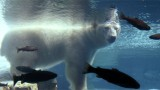 Are Polar Bears Victims of the New Cold War?