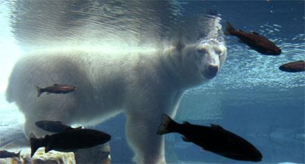 A polar bear takes a dip. [CREDIT: RACHELE COOPER]