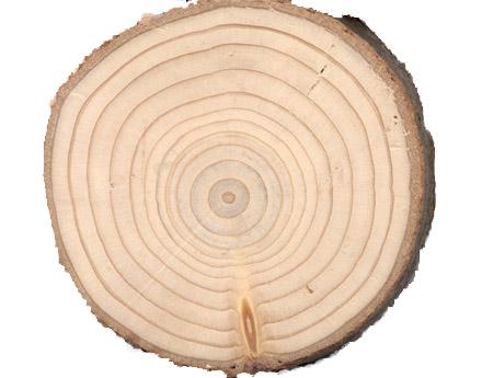 Cross section of a douglas fir credit h d grissino mayer