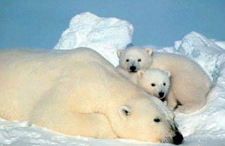 Polar bear mother with two