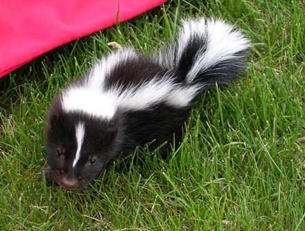 A baby skunk looking for a playmate. [CREDIT: KANKLEBORG.NET]