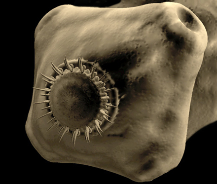 Microscopic view of T. solium-- a  pork tapeworm. [CREDIT: STANFORD.EDU]