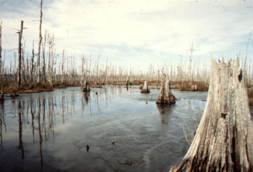 "A ""ghost forest"" from chronic salt water intrusion in Terrebonne Parish, Louisiana. [CREDIT: U.S.G.S. National Wetlands Research Center]"