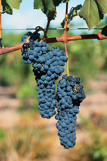 A bunch of Shirazz grapes in the Limestone Quarry Vineyard, Wrattonbully, South Australia. [CREDIT: Image courtesy of Hamilton's Ewell Vineyards, Australia]