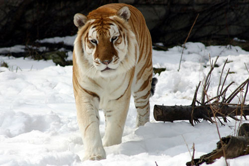 A siberian tiger in the snow. [CREDIT: CINDY HAGGERTY]