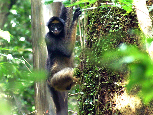 A spider monkey in the Amazon. [CREDIT: ANTHONY DI FIORE]
