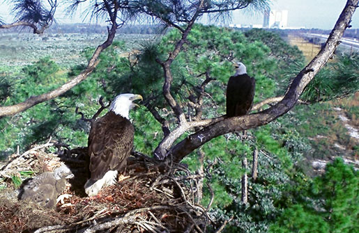 Eagles perched in the trees around Kennedy Space Center. CREDIT: [NASA.GOV]