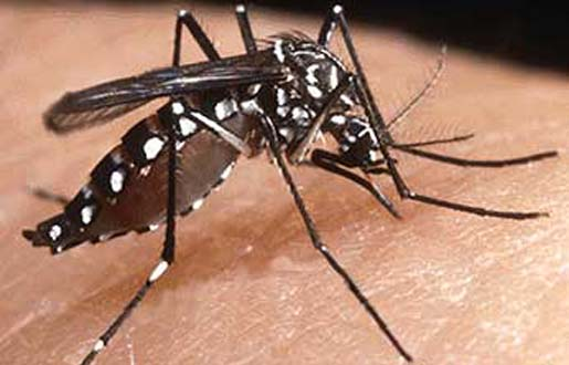 Aedes aegypti, the dengue fever spreading mosquito. [Credit: Panacea Biotech].