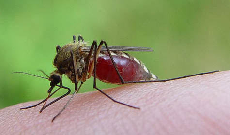 A mosquito prepares to feast on a human host. [Credit: Matti Parkkonen]