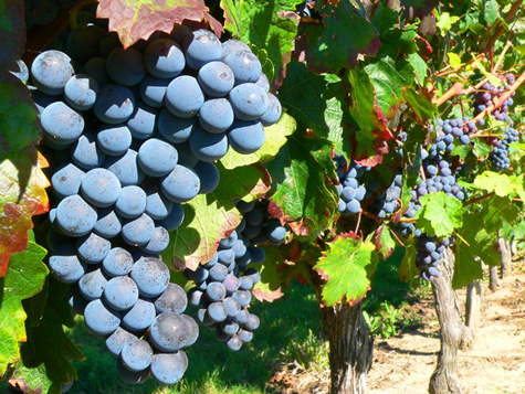New anti-aging drugs are based on studies of resveratrol, a natural compound found in grapes and red wine. [Credit: John Evans]