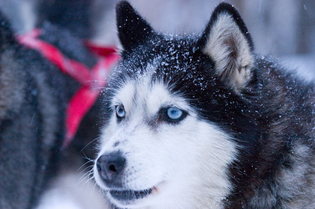 Scientists say a sled dog's fur serves as an excellent detector for mercury contamination. [Credit: Jim Doeden]