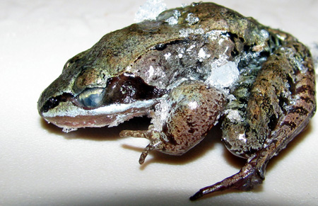 This frozen wood frog is one of five species that tolerate freezing. [Credit: Janet Storey]