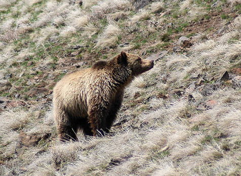 Grizzly bear on a hillside. [Credit:John Hansen]