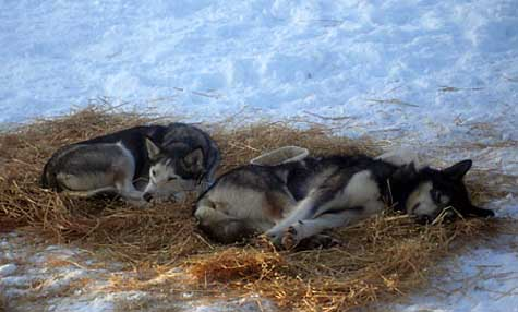 Sled dogs like Silver and Madonna are uniquely adapted to ultra-endurance racing. <br>[Credit: Brent Sass]