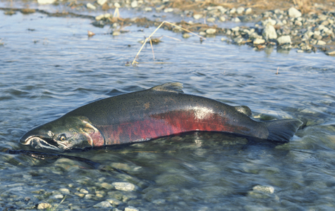 Chinook Salmon's Last Meal?