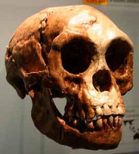 Homo floresiensis skull -- not quite human. [Credit: American Museum of Natural History]