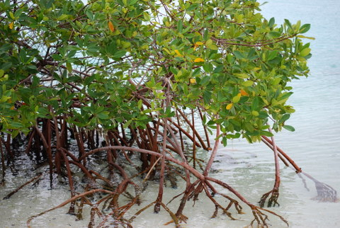 Mangroves brought to you by the NFL. The Superbowl offsets carbon emissions by restoring mangroves in Florida. Red mangroves, like these taken in the Turks, are vital to coastal ecosystems. [Credit: Lindsey Konkel]