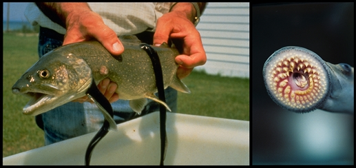 A fish suffers with parasitic lampreys latched onto its sides (left).  On the right, the blood-sucking mouth of the lamprey [Credit: Marc Gaden (fish with lampreys) and Ted Lawrence (lamprey mouth), Great Lakes Fishery Commission].