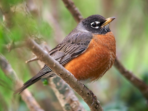 American robins are one of many wildlife species that can thrive in developed areas near humans, and spread diseases to them. [Credit: Colin Purrington, flickr.com] Below left, Researchers survey scat to estimate the local population of deer. [Credit: Lynne Peeples]