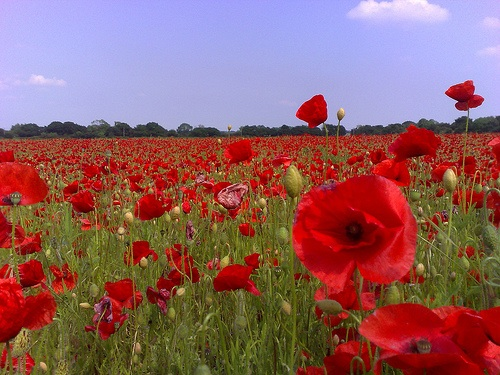 Poppies, like the ones pictured here, thrive under conditions of climate change, and produce more of the morphine used in legal and illicit drugs. [Credit: Doug Belshaw; flickr.com]