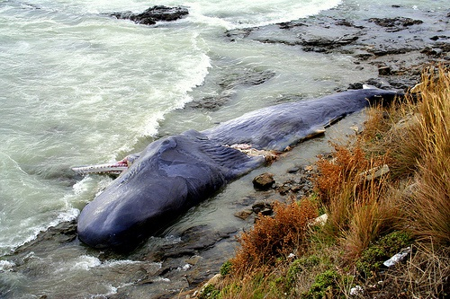 This whale carcass could have been a feast for deep-sea beasties. [Credit: They-Speak a Different-Language, flickr.com]