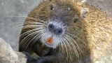 Is Nutria the New Black?