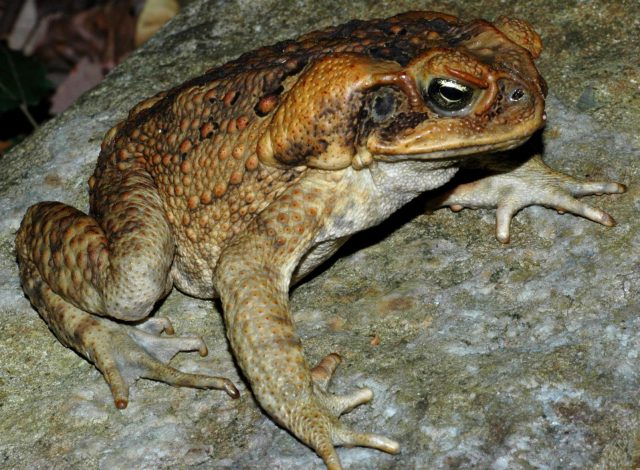 Australian Meat Ants Enjoy Cane Toads à la Cat Food