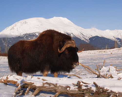 In the Case of the Musk Ox Decline, Man is Not Guilty