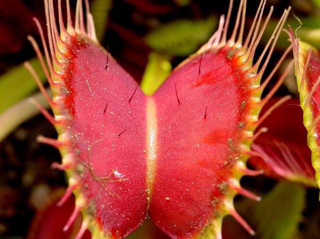 How Does a Venus Flytrap Work?