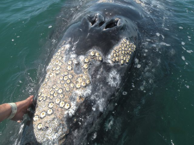 How Do Barnacles Attach to Whales?