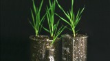 Wild Grass Genome Sequenced