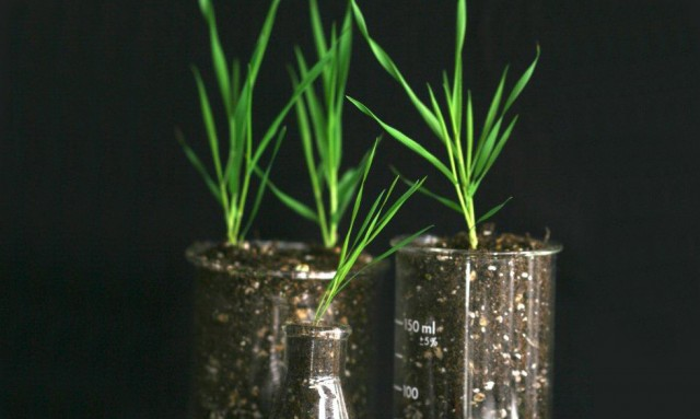 Wild Grass Genome Sequenced 187 Scienceline