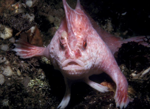 Beast of the Week: The Handfish