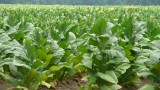 Tobacco Plant Could Get New Gig