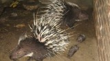 Porcupines Expose Pitfalls of Wildlife Farming