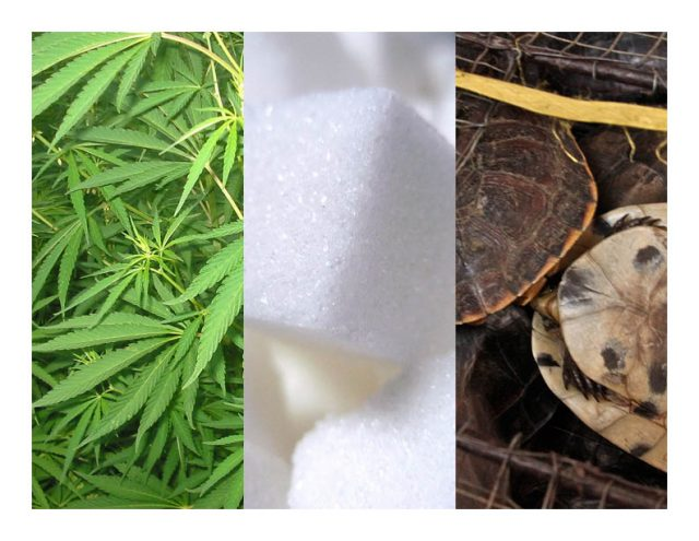 Weed, sugar and turtles. [Image credits, left to right: warrantedarrest, Mykl Roventine, Rachel Nuwer]