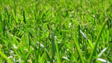 Lawns vs. crops in the continental U.S.