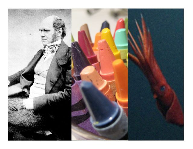 Darwin, crayons, and squid sperm