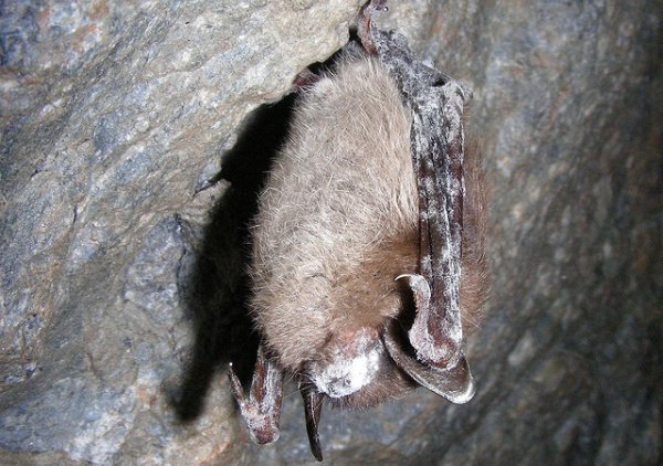 White-nose syndrome is threatening North American bats