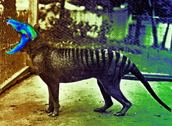 tasmanian tiger wrongfully hunted to extinction scienceline
