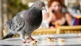 Speaking pigeon