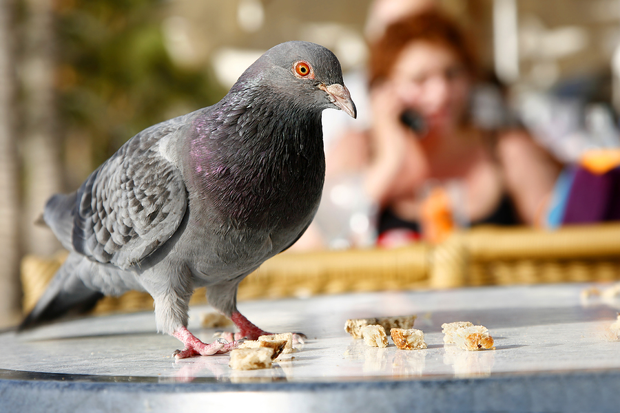 "[Image Credit: <a href=""http://www.bigstockphoto.com/image-1600153/stock-photo-urban-pigeon"">BigStockPhoto.com</a>]"