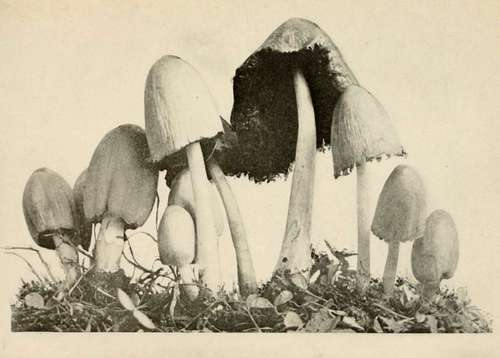 Mushroom of the Week: Inky caps