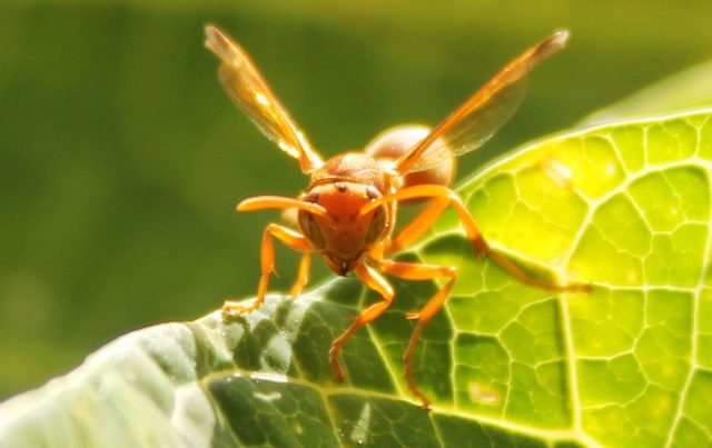 Paper wasps follow a secret succession line