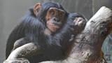 Chimpanzee justice