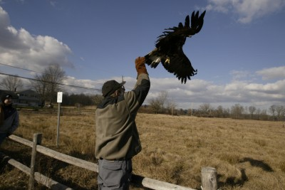 Len Soucy releases a golden eagle [Image credit: The Raptor Trust]